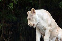 关闭白色狮子坐木头和看 免版税库存图片