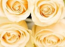 关闭白色的四朵宏观玫瑰 库存照片