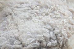 关闭白色被洗染的羊皮地毯作为背景 库存图片
