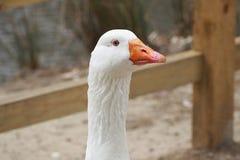 关闭白色鹅 免版税库存图片