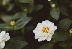 关闭白花 橙色百日菊属花 免版税库存照片