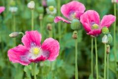 从关闭的桃红色开花的罂粟属 免版税库存照片