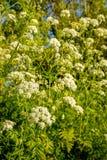 从关闭的白色开花的母牛荷兰芹 库存图片
