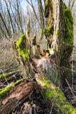 从关闭的腐烂的绿色生苔树干 免版税库存图片