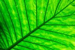 关闭的静脉样式自然背景影像叶子的 免版税库存图片