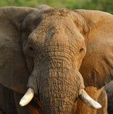 关闭的顶头研究非洲大象的 库存照片