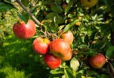 从关闭的鲜美红色苹果 免版税库存图片