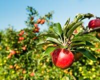 从关闭的鲜美红色苹果 免版税图库摄影