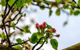 从关闭的黑暗的桃红色发芽的苹果树春天 库存图片