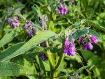从关闭的紫罗兰和紫色开花的共同的雏菊植物 图库摄影