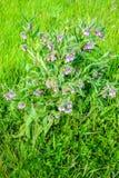 从关闭的紫罗兰色开花的共同的雏菊植物 库存照片