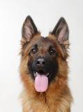 关闭看对照相机的一条幼小德国牧羊犬狗的画象 两岁宠物 免版税库存图片