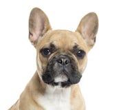 关闭看照相机的一只法国牛头犬小狗 免版税图库摄影