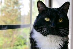 关闭看照相机的无尾礼服猫 免版税库存照片