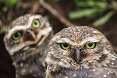 关闭看照相机-雅典娜cunicularia的猫头鹰 图库摄影