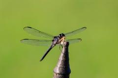 关闭看看在一个铁棍的一只蜻蜓有在它的下颌的一只昆虫的 免版税库存图片