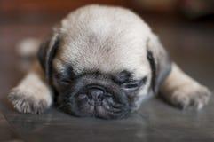 关闭睡觉在层压制品的地板上的逗人喜爱的哈巴狗小狗的面孔 免版税库存照片