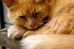关闭睡觉在阳光下的橙色虎斑猫 免版税库存照片