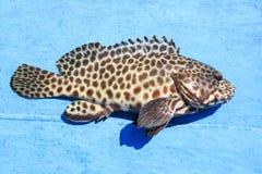 关闭石斑鱼鱼充分的身体在蓝色木地板上的 免版税图库摄影