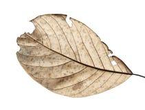 关闭秋天干叶子,扣杆棕色叶子,在纹理的宏观看法枯萎了在白色背景隔绝的秋叶 免版税库存照片
