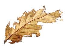 关闭秋天干叶子,扣杆棕色叶子,在纹理的宏观看法枯萎了在白色背景隔绝的秋叶 免版税库存图片