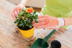 关闭种植在罐的妇女手玫瑰 免版税库存图片