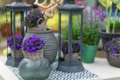 关闭称在花盆机智的风轮草的小会开蓝色钟形花的草 库存照片