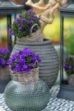 关闭称在花盆机智的风轮草的小会开蓝色钟形花的草 免版税库存照片