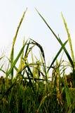 关闭稻的和选择聚焦泰国茉莉花米的耳朵或耳朵在绿色看法的在晚上 免版税图库摄影