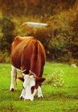 关闭空白和棕色母牛的纵向 免版税库存照片