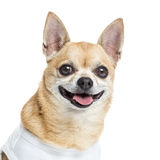 关闭穿戴气喘的奇瓦瓦狗,孤立 免版税库存照片
