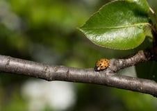关闭突然上升了在树枝的瓢虫 库存照片
