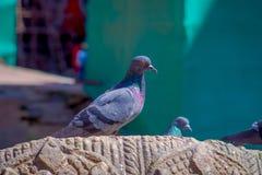 关闭站立在一个被雕刻的岩石的鸽子群在Durbar方形的近的老印度寺庙在加德满都,尼泊尔 免版税库存图片