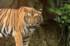 关闭站立在前面前面隧道的印度支那的老虎  免版税库存照片