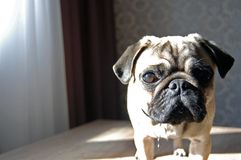 关闭站立在桌上的逗人喜爱的哈巴狗狗的面孔 免版税库存图片