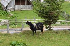 关闭站立在牧场地的黑白色的绵羊的图象有木小屋后边看法  库存照片