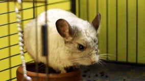 关闭站立在笼子的黄鼠 免版税库存照片