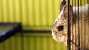 关闭站立在笼子的黄鼠 库存图片