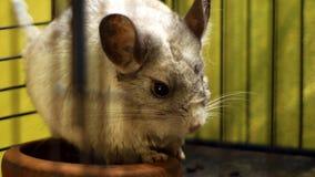 关闭站立在笼子的黄鼠 免版税图库摄影