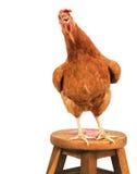 关闭站立棕色女性蛋的母鸡画象充分的身体嘘 免版税库存照片