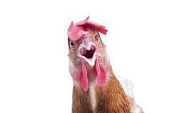 关闭站立棕色女性蛋的母鸡画象充分的身体嘘 免版税库存图片