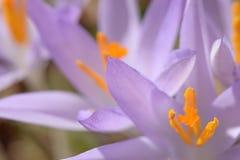关闭第一朵春天紫色番红花的样式 库存照片