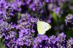 关闭粉蝶蝴蝶在淡紫色淡紫色的皮利斯brassicae 免版税库存照片