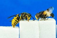关闭粗砺的飞行和黄蜂紧挨着坐糖立方体有蓝色背景 配置文件视图 免版税库存照片