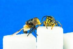 关闭粗砺的飞行和黄蜂紧挨着坐糖立方体有蓝色背景 免版税库存图片