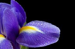 关闭紫色虹膜的图象在黑色的 免版税库存照片