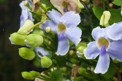 关闭紫色Cattleya兰花花 库存图片