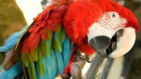 关闭红色亚马逊猩红色金刚鹦鹉鹦鹉或Ara澳门,热带鸟密林森林野生生物五颜六色的画象的  股票录像