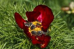 关闭红色山牡丹(芍药属tenuifolia) 图库摄影
