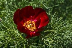 关闭红色山牡丹(芍药属tenuifolia) 免版税库存照片